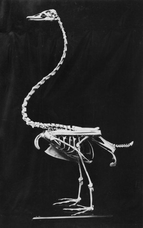 Cygnus chathamensis mounted photo by Charles Lindsay