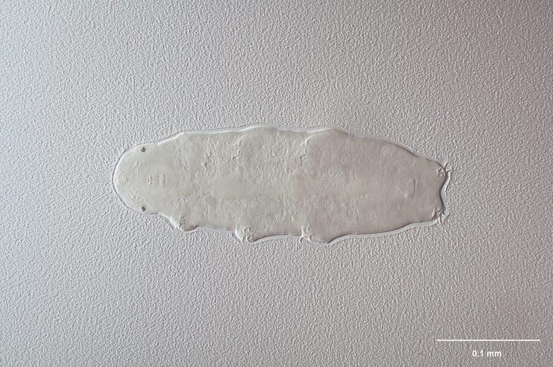 Tardigrade water bear Hypsibius allisoni. Photograph by Jean-Claude Stahl. Te Papa (AT.000001)