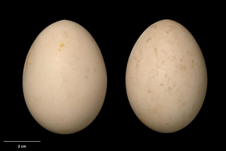 Auckland Island teal clutch ex captivity at Mt Bruce, collected by the Department of Conservation, October 1997. Specimen OR.025368, eggs approx. 61 x 46 mm. Image: Jean-Claude Stahl, Te Papa