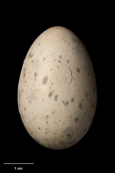 South Island kokako egg (42.0 mm x 27.4 mm), Hokitika, date unknown. Specimen OR.007626. Photograph by Jean-Claude Stahl. Te Papa