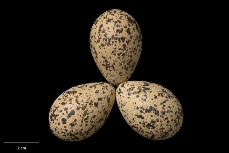 New Zealand dotterel clutch, Maketu Spit, Bay of Plenty, October 2011. Specimen OR.029416, eggs approx. 45 mm x 32 mm. Photograph by Jean-Claude Stahl. Te Papa