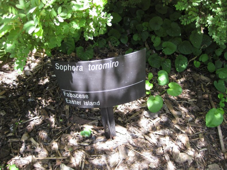 Toromiro at the Royal Botanic Gardens, Melbourne