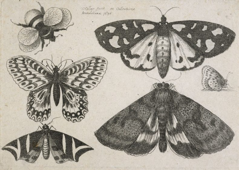 Etching of three moths, two butterflies, and a bumble-bee