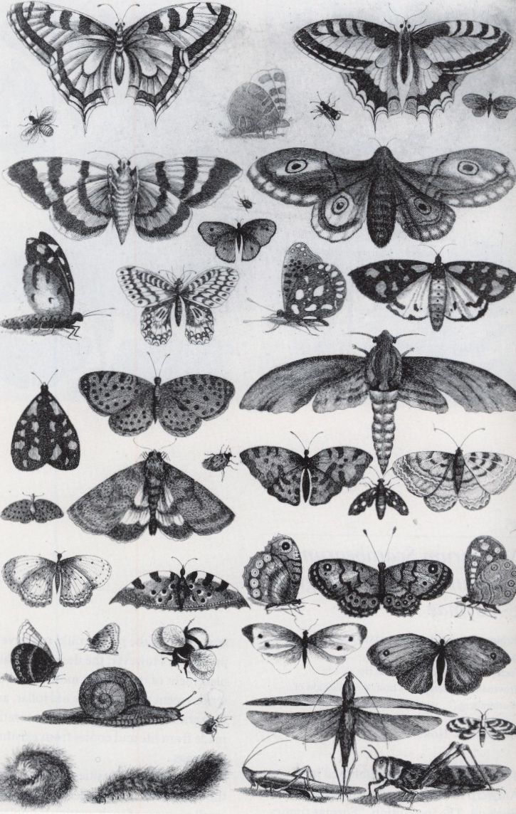 An etching of forty-one insects, moths and butterflies