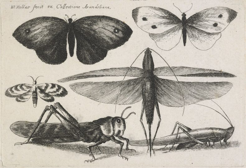 Etching of insects including a cricket and some butterflies