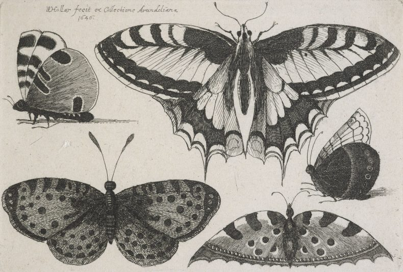 Etchings of five butterflies