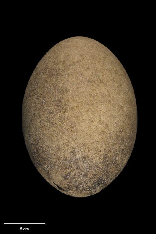 Egg of stout-legged moa