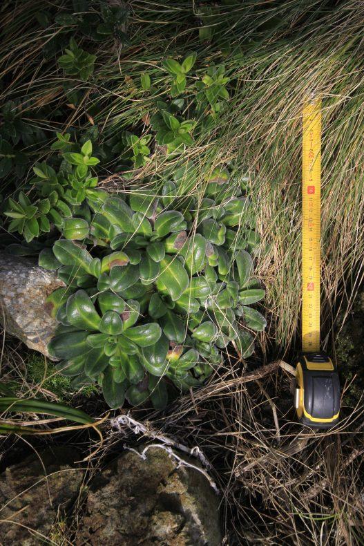 A small clump of Myosotis rakiura plants on Solander Island