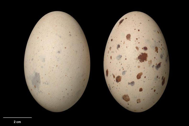 South Island takahe eggs