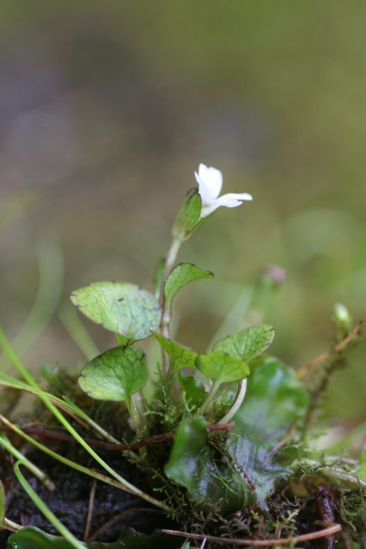 The tiny Ourisia modesta, in flower
