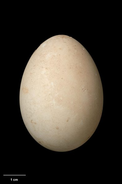 Broad-billed prion egg