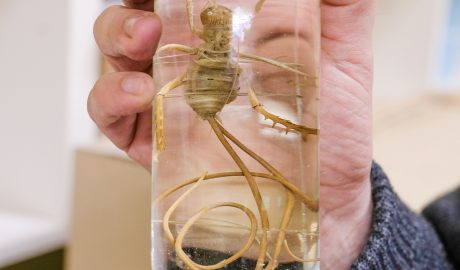 A preserved giant weta in a jar with a very long worm coming out of its behind