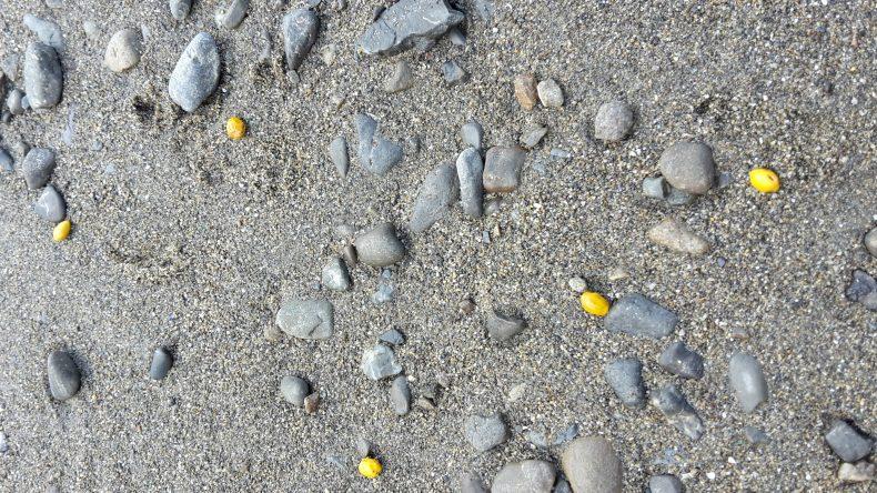 The bight yellow seeds of kōwhai are a familiar sight on New Zealand beaches.