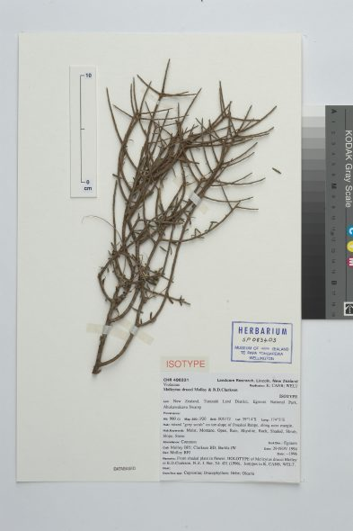 Melicytus drucei Molloy & B.D.Clarkson, collected 29 Nov 1994, Egmont National Park, Ahukawakawa Swamp, New Zealand. CC BY-NC-ND licence. Te Papa (SP083403)