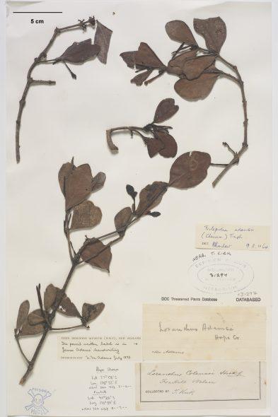 A specimen of Adam's mistletoe
