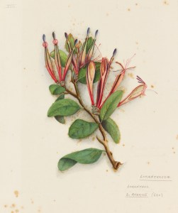 This watercolour by Fanny Osborne of Adam's mistletoe reminds us of its beauty.  At the time, it was known as Loranthus adamsii. It became extinct in the 1950s, probably because of forest clearance and possum browsing along with loss of pollinators and dispersers caused by introduced animals. Image copyright Auckland Museum; reproduced courtesy of Auckland Museum.