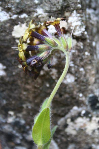 Myosotis macrantha