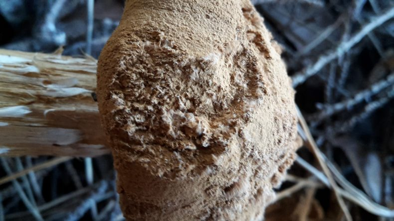 A close-up of the spores on the surface of the sandy stiltball cap.