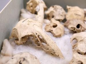 Adzebill skulls
