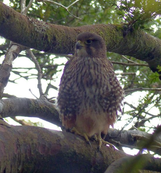 A New Zealand falcon on Round Island, Preservation Inlet. Photo by Alan Tennyson. Te Papa