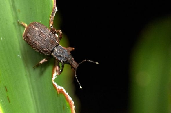 Flax weevil, Dusky Sound, November 2016. Photo by Jean-Claude Stahl. Te Papa