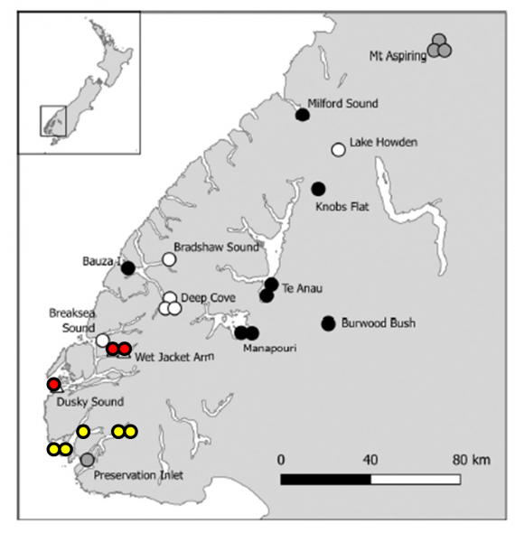 Grey-backed storm petrel records from Fiordland. Yellow = November 2017; red = November 2016; white = earlier August to November records; black = February to April records including 2 known fledglings; grey = undated records. Base map from Notornis volume 64 (p. 112), reproduced with permission of the editor.