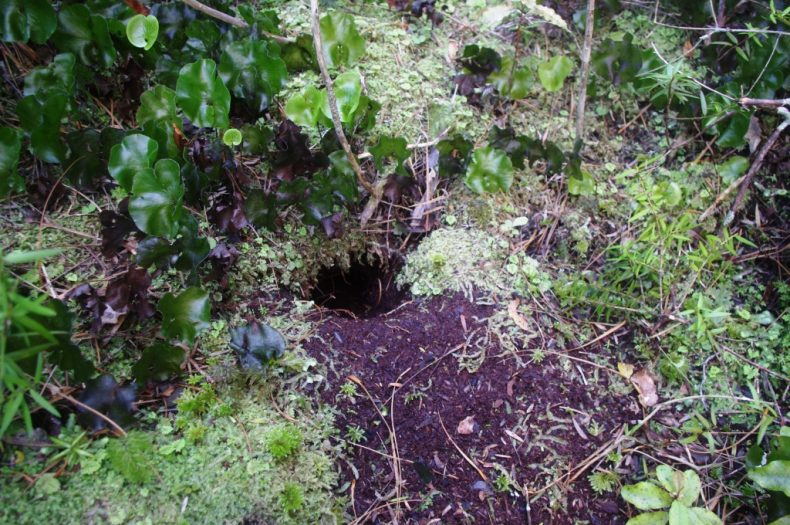 A mottled petrel burrow on an islet in Isthmus Sound, southern Fiordland. Photo by Colin Miskelly. Te Papa
