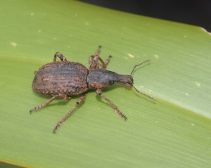 Flax weevil on Round Island, Preservation Inlet. Photo by Colin Miskelly. Te Papa