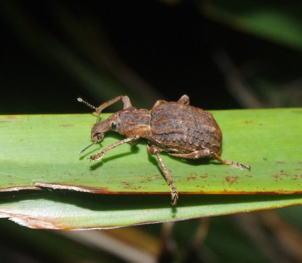 Flax weevil on the Small Craft Harbour Islands, Chalky Inlet. Photo by Colin Miskelly. Te Papa