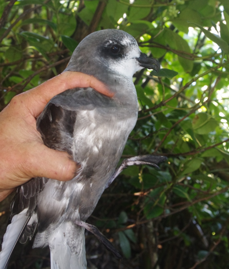 An adult mottled petrel on a stack off South Passage Island, Chalky Inlet. Photo by Colin Miskelly. Te Papa