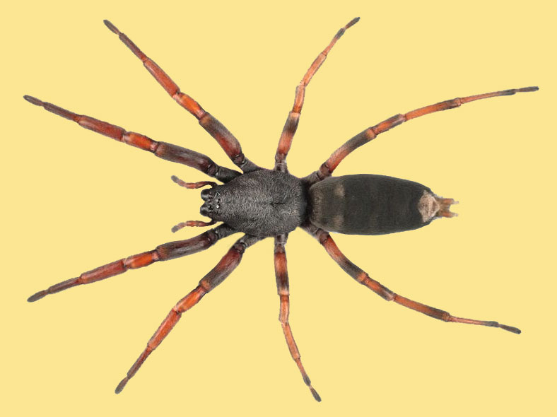 The biting truth about white-tailed spiders | Te Papa's Blog