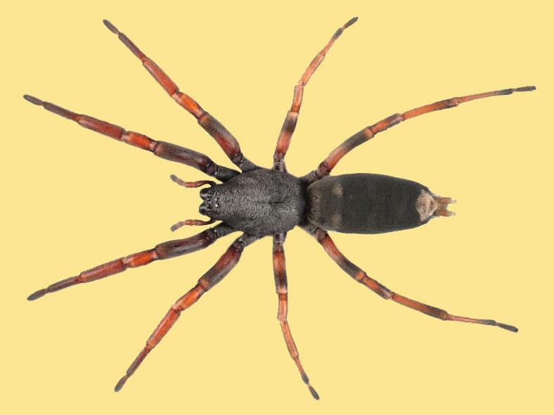 White-tailed spider. Te Papa