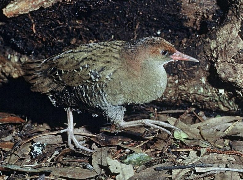 Auckland Island rail. Photo by Rod Morris. Department of Conservation