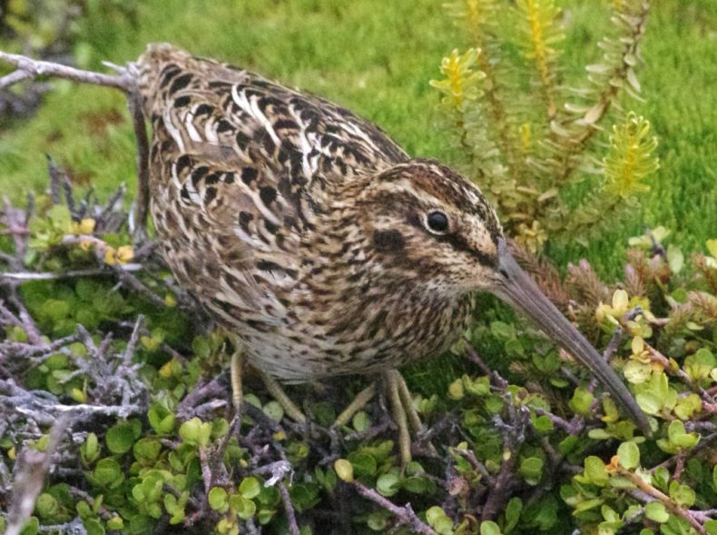 An adult Auckland Island snipe on Enderby Island. Photo by Colin Miskelly. Te Papa