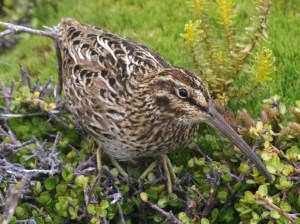 Auckland Island snipe. Photograph by Colin Miskelly. Te Papa
