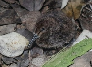 Auckland Island snipe chick, Ewing Island. Photo by Colin Miskelly. Te Papa