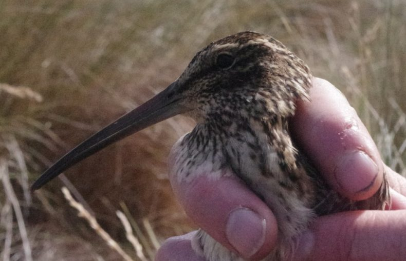 An Auckland Island snipe captured on Enderby Island. Photo by Colin Miskelly. Te Papa