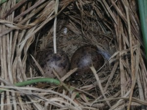 Auckland Island snipe nest with 2 eggs, Disappointment Island. Photo by Colin Miskelly. Te Papa