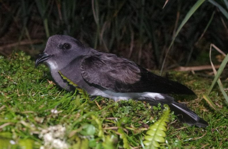 A black-bellied storm petrel on Ewing Island. Photo by Colin Miskelly. Te Papa