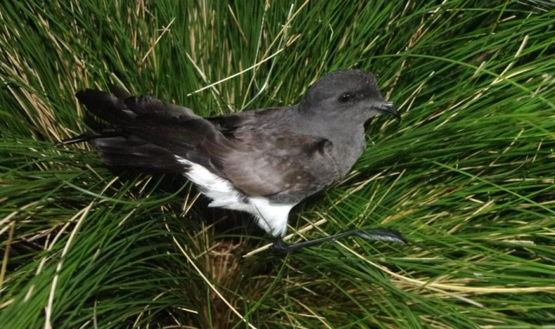 A black-bellied storm petrel at night on Disappointment Island. Its name refers to a stripe of black feathers down the mid-line of the belly, not visible in this image. Photo by Colin Miskelly. Te Papa