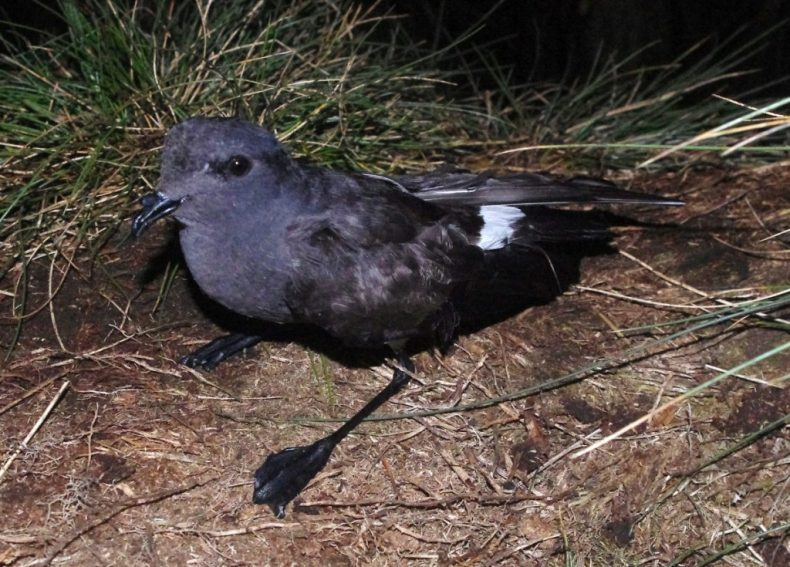Black-bellied storm petrel, Disappointment Island. Photograph by Colin Miskelly. Te Papa