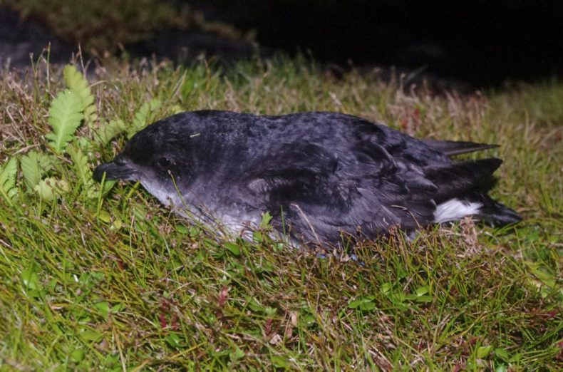 A common diving petrel on Ewing Island. Photo by Colin Miskelly. Te Papa