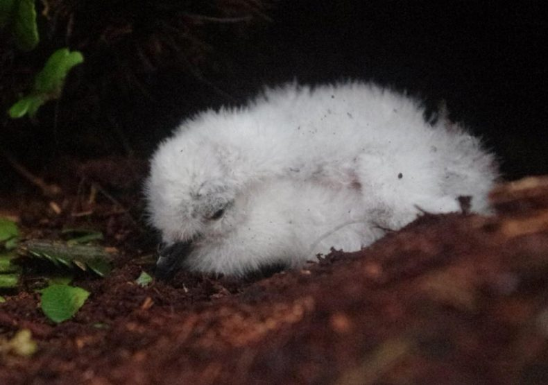 A subantarctic diving petrel chick on Shoe Island. Photo by Colin Miskelly. Te Papa