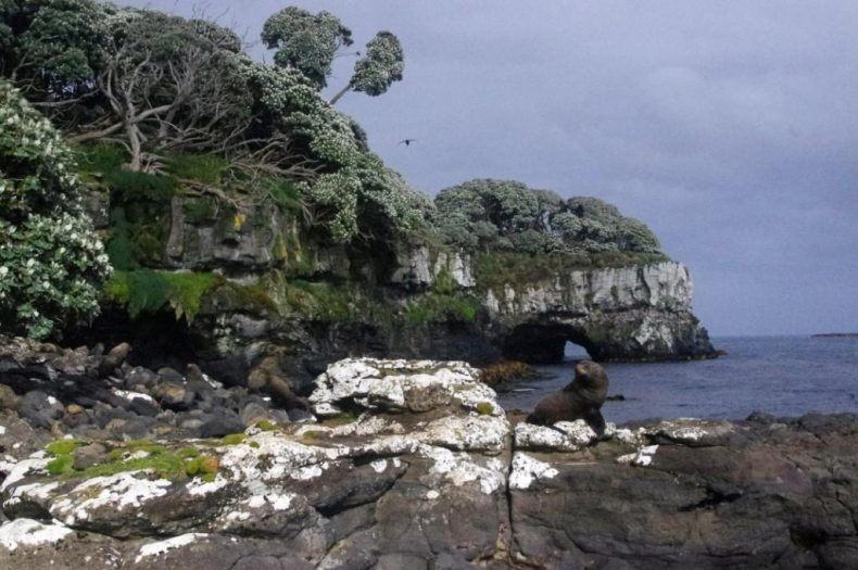 Olearia lyallii tree daisy forest along the southern shore of Ewing Island. Photo by Colin Miskelly. Te Papa