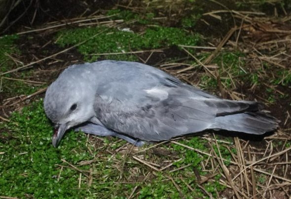 A lesser fulmar prion fledgling prepares for its first flight at night on Disappointment Island. Photo by Colin Miskelly. Te Papa