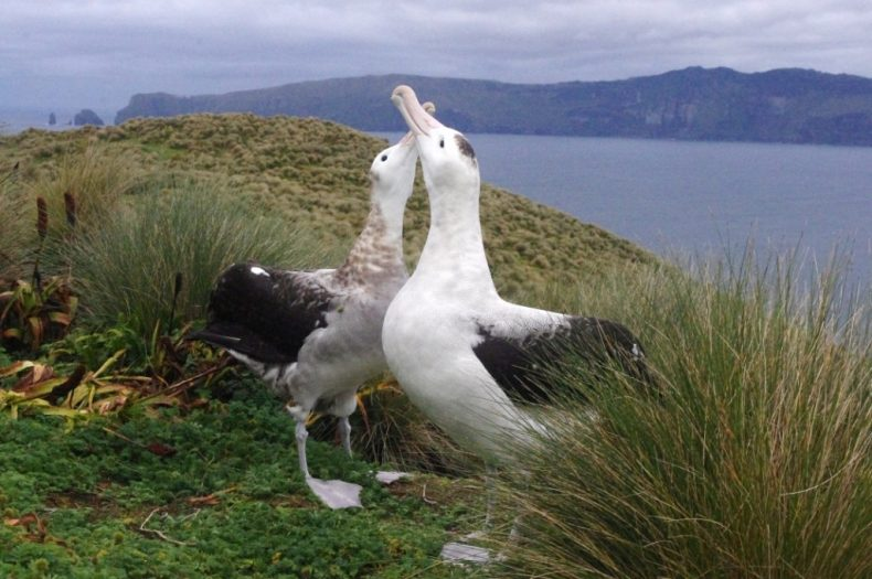 A pair of Gibson's albatrosses displaying on Disappointment Island, with the main Auckland Island beyond. Photo by Colin Miskelly. Te Papa