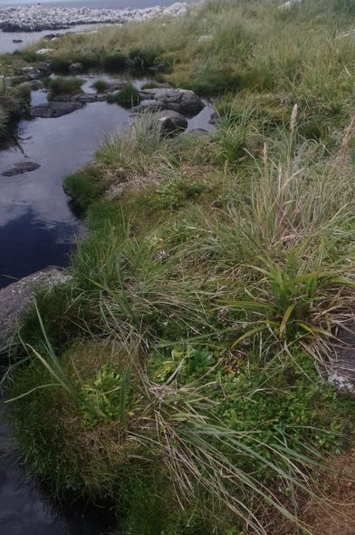 Coastal saltmarsh habitat of Myosotis capitata on Ewing Island. WELT SP106542. Photo by Colin Miskelly @ Te Papa.