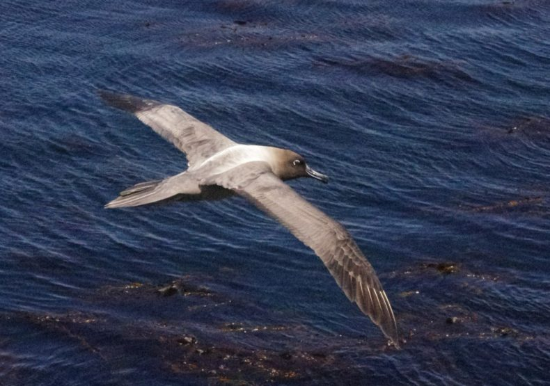 A light-mantled sooty albatross flying past the western cliffs of Enderby Island. Photo by Colin Miskelly. Te Papa