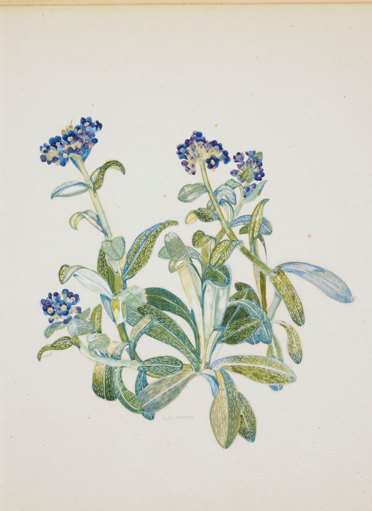 Watercolour painting of Myosotis capitata by Nancy Adams. https://collections.tepapa.govt.nz/object/835481
