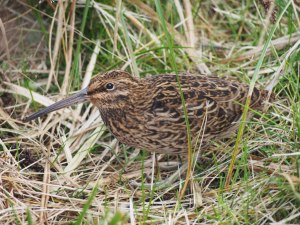 The Campbell Island snipe was discovered in 1997 and named (as Coenocorypha aucklandica perseverance) in 2010. Photo by Mary-Anne Lea, NZ Birds Online